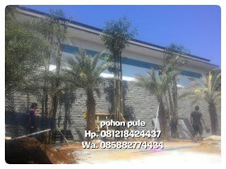 Tukang Taman minimalis menjual tanaman peneduh pohon pule mulai Batang kecil hingga Batang besar,  Batang tunggal dan gruping dengan harga murah tapi bergaransi dan bebas ongkos kirim