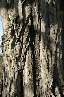 Robinier - Faux acacia - Robinia pseudoacacia
