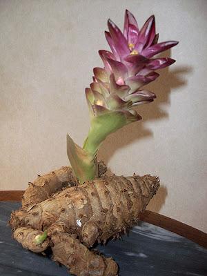 tanaman untuk obat
