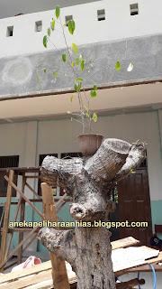 Pohon Beringin, tanaman Hias, tanamanj besar