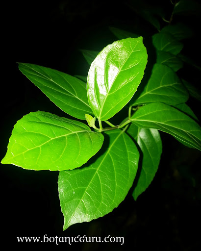 Premna serratifolia, Coastal Premna leaves