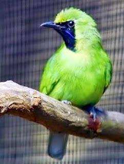 bahan cucak ijo www.burung45.blogspot.com
