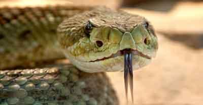 Pertolongan pertama ketika digigit ular berdapat APA YANG HARUS DILAKUKAN JIKA DIGIGIT ULAR BERBISA?