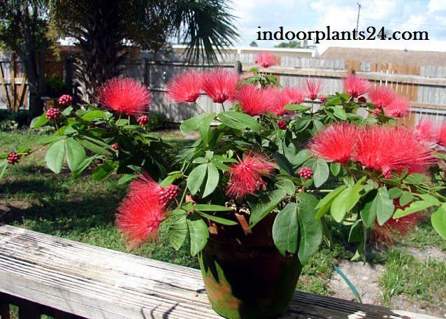 Calliandra Haematocephala Powder Puff Plant image