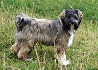 Brown Tibetan Terrier Dog