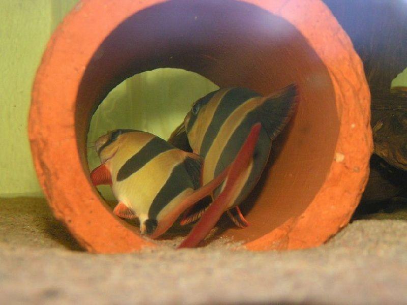 ikan botia pemakan keong