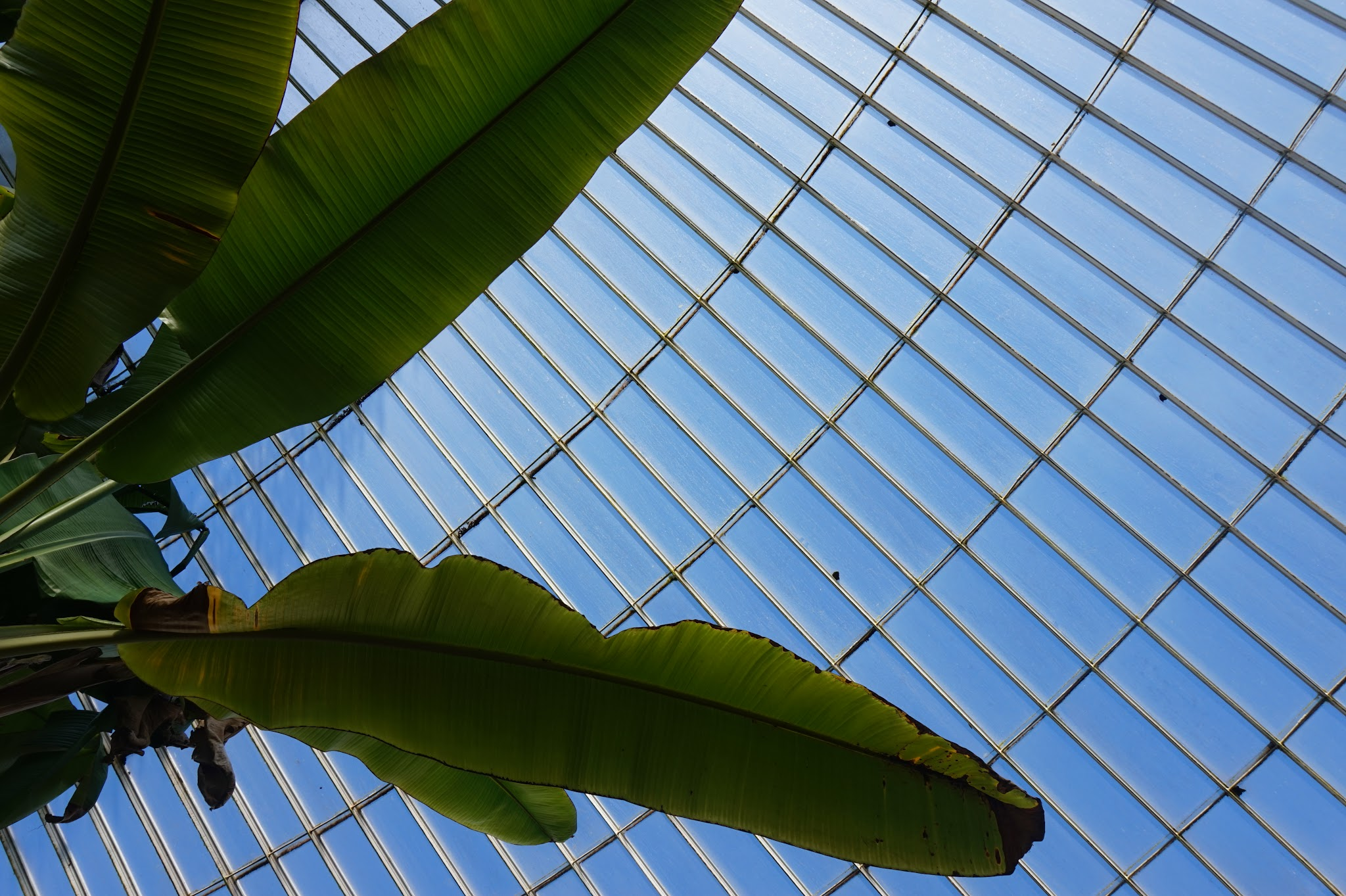 huge leaf against blue sky through greenhouse roof