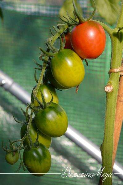 pomidor Black Plum