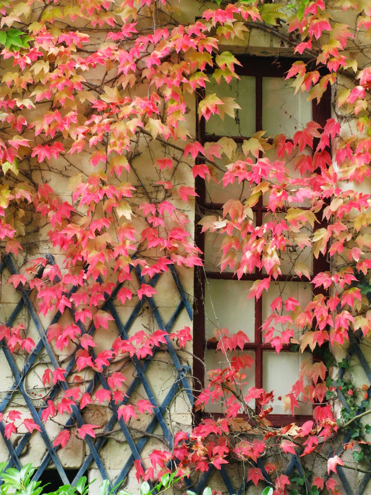reddish hues in autumn leaves on wall at Chateau de Chenonceau France