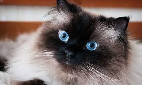 Conozcamos al gato himalayo