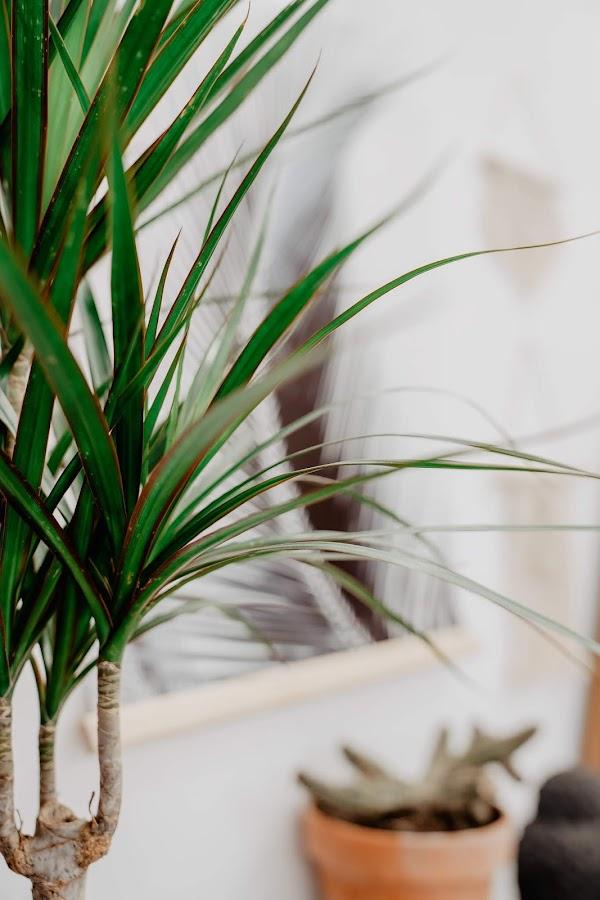 dracena marginata, palmera de tigre, plantas, cuidado plantas, como regar una planta,