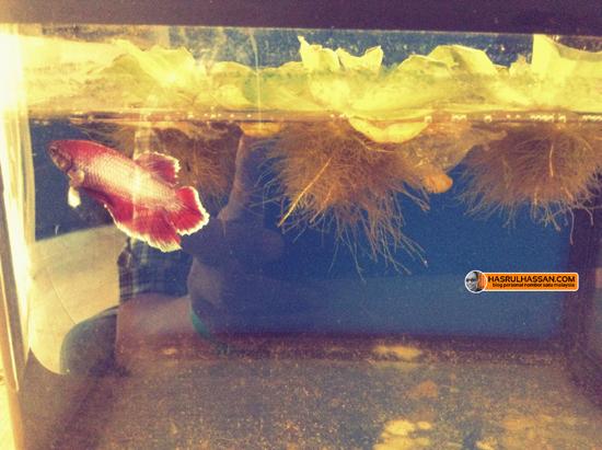 Cara biak ikan Pelaga Betta Splenden