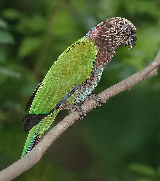 Papagaio-de-Coleiro (Deroptyus accipitrinus)