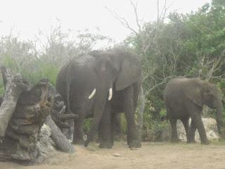 Elephants at Disney World's Animal Kingdom