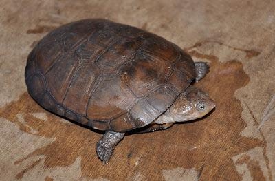 Bentuk Fisik African Helmeted Turtle