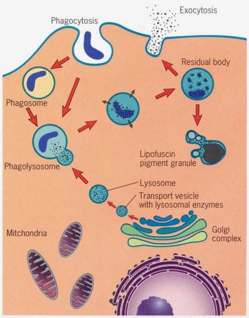 Immune-System-for-8th-Graders Phagocytosis