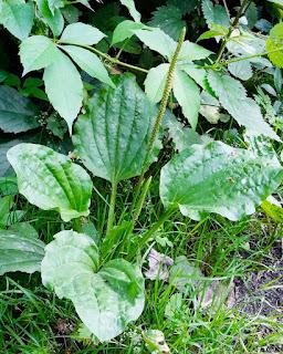 Khasiat manfaat daun sendok bagi kesehatan ki urat cara mengolah jadi obat