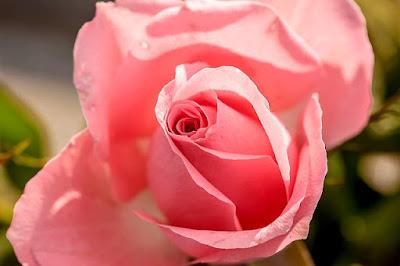 Hoa hồng đẹp nhất thế giới tặng người yêu 1