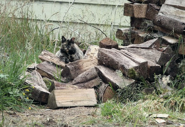 tortie cat in a woodpile camouflage
