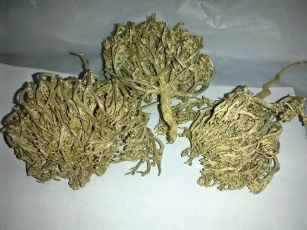 Ini yaitu homogen bunga atau putik bunga yg telah kering Manfaat Rumput Fatimah untuk Kesehatan Wanita