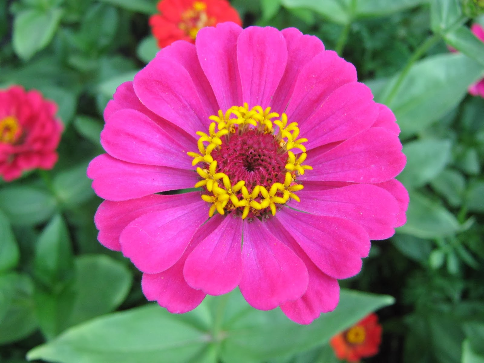 Pink Zannia Flowers Wallpapers  Beautiful Flowers Wallpapers