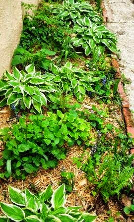 Hosta garden with wood chip mulch