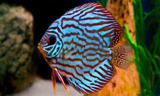 Jenis dan Harga Ikan Discus Blue Turquoise