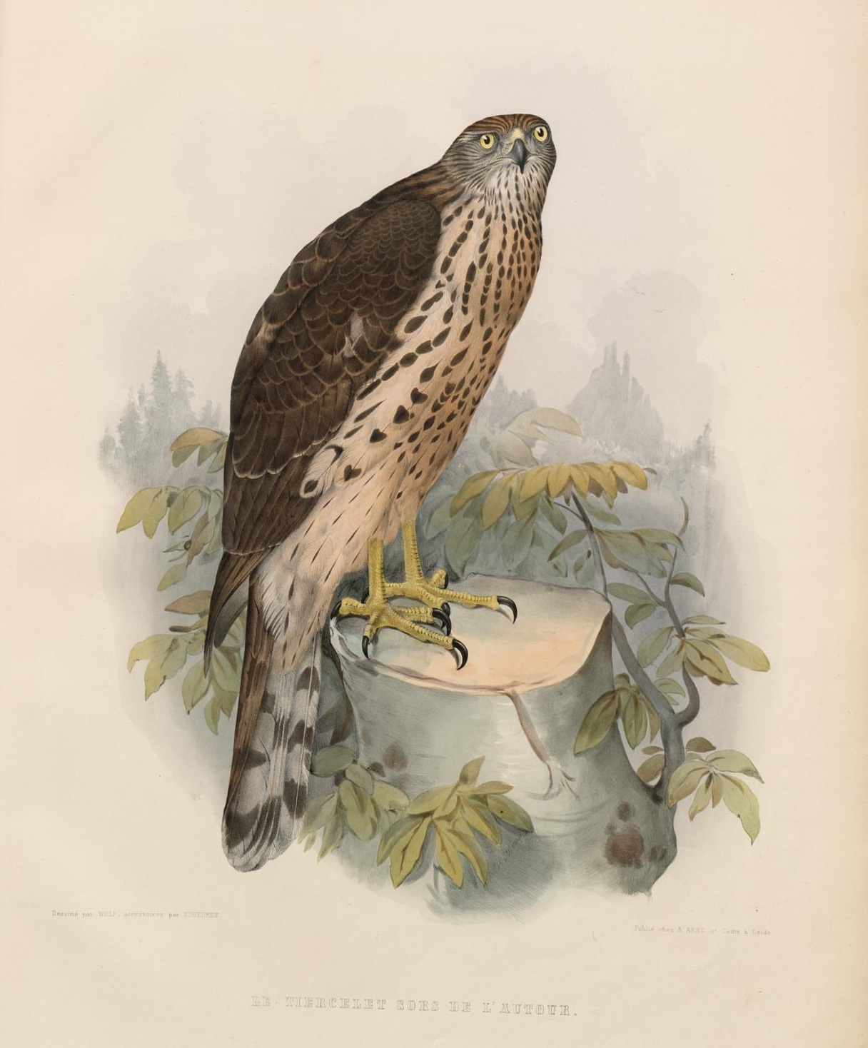 hawk illustration