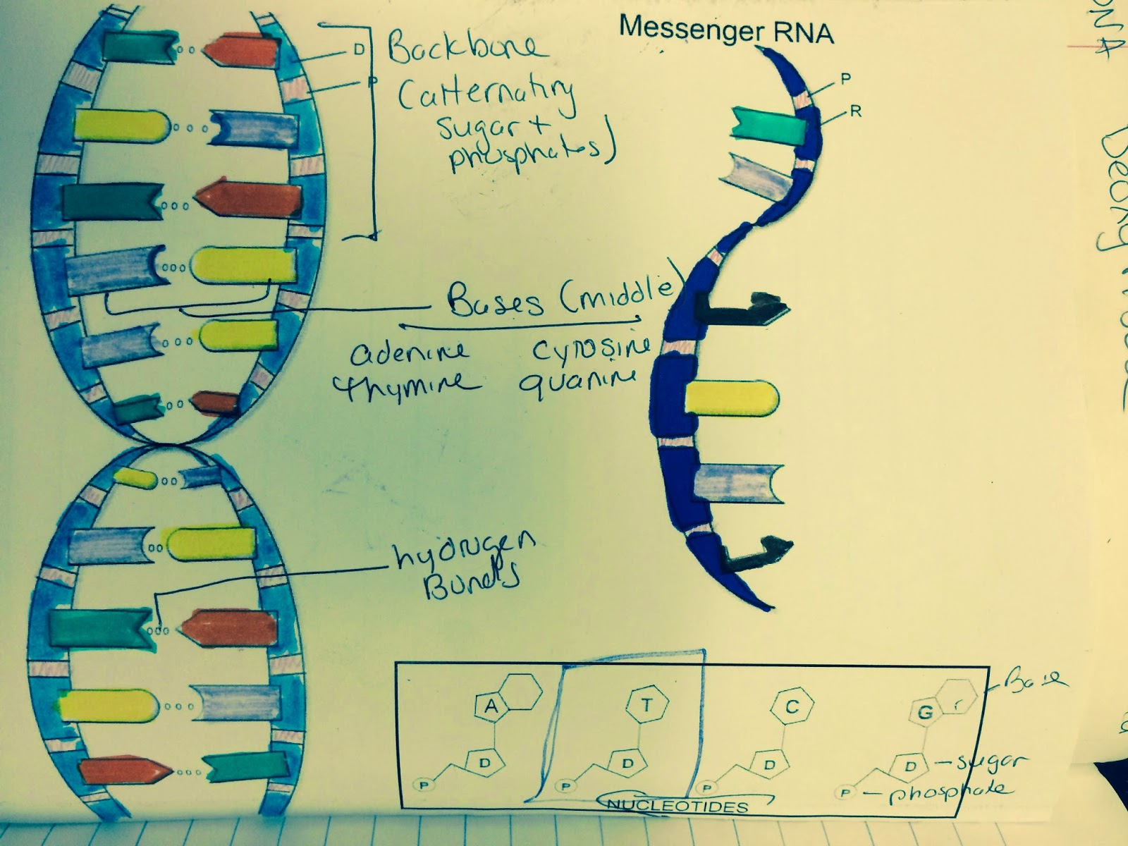 Mrs Greeley Howard S Biology Class Dna Coloring Notes