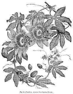 flower botanical art passion illustration digital clipart image