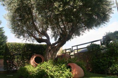 olivo en jardín