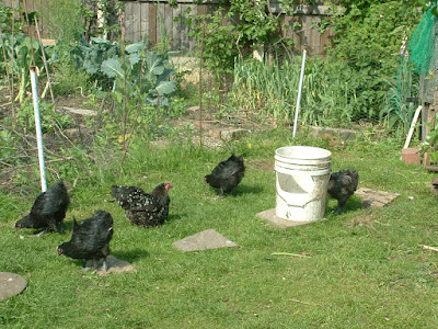 A black Pekin bantam and four young black Australorps on a lawn