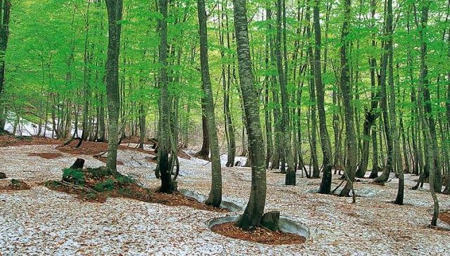 """غابة """"شيراكامي -سانشي"""" في اليابان"""