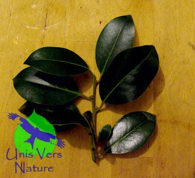 Feuilles Houx - Ilex aquifolium - stages plantes sauvages comestibles