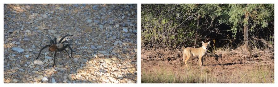 araignée et renard dans le désert