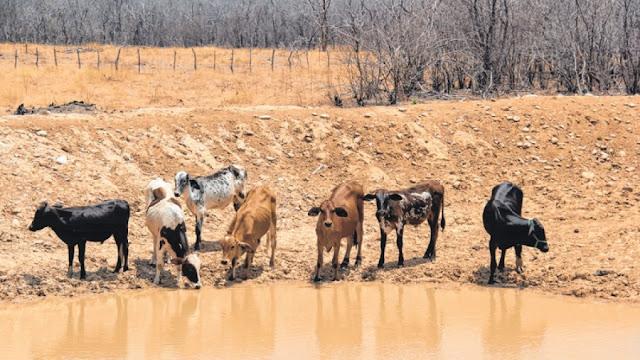 Gado sofre com a escassez de água e alimento no sertão do Ceará