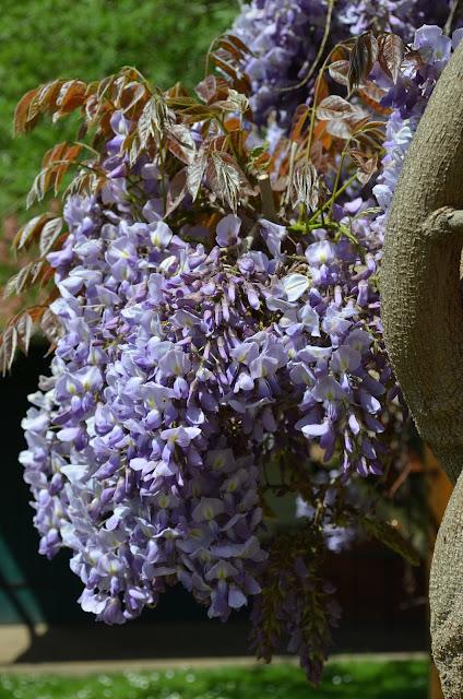 Glycine, Wisteria, Blauregen, Blüte