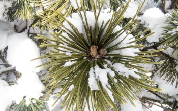 Wallpaper: Pine tree covered with snow
