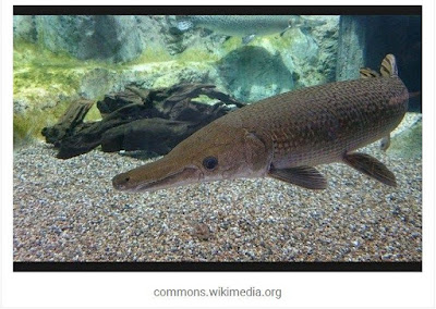 Makanan Ikan Aligator Agar Cepat Besar