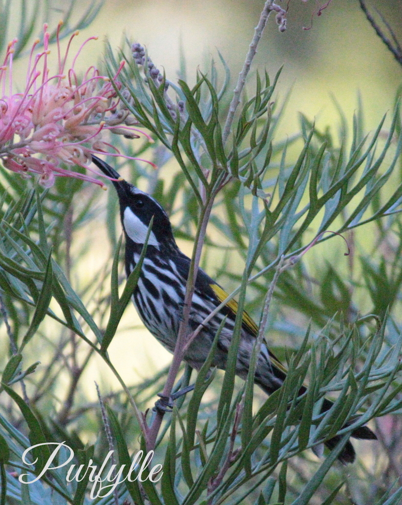 White Cheeked Honey Eater