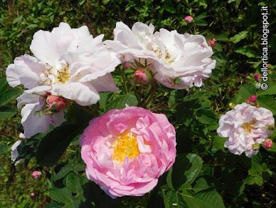 Rosa Celestial ibrido di Alba confetture cinorrodi e petali per tisane lavanda sali aromatici ghirlande centrotavola natalizi e floreali alla fattoria didattica dell ortica a Savigno Valsamoggia Bologna in Appennino vicino Zocca
