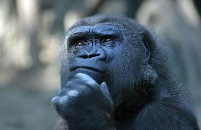 """Gorila pensando4"""