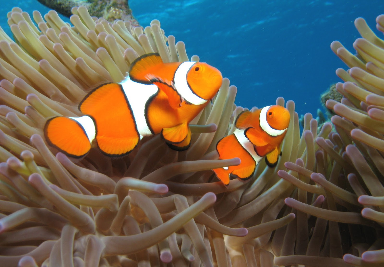 Nemo Fish Coloring Pages | Realistic Coloring Pages