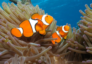 Nemo Fish Pictures