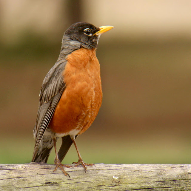American Robin Full HD Wallpaper And Pictures