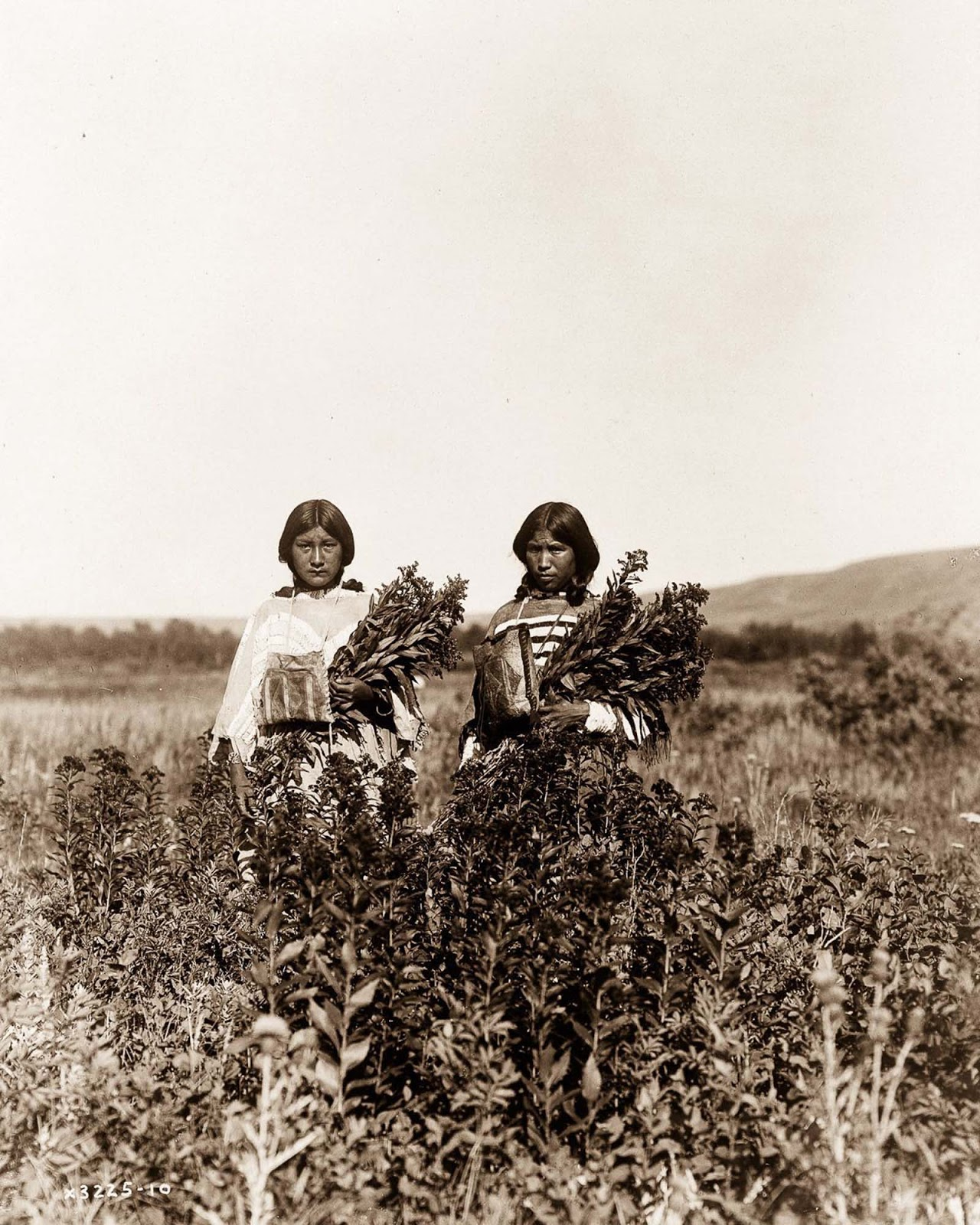 Piegan girls gather goldenrod. 1910.