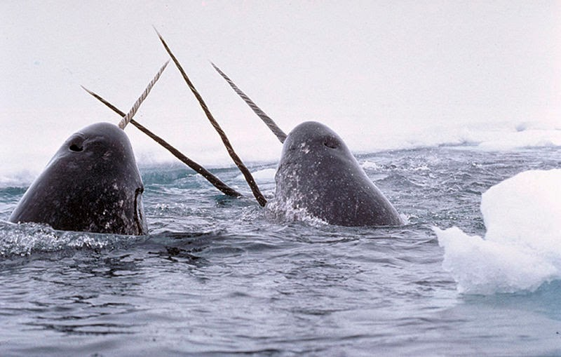 Image showing four narwhals tusking