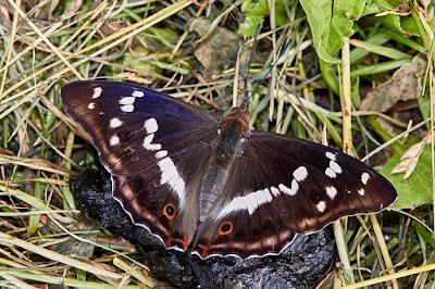 Apatura iris