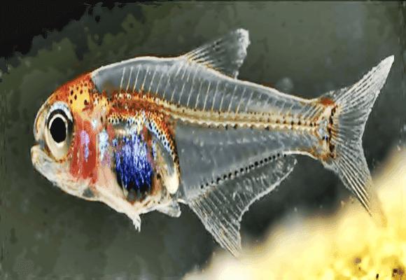 Transparências-Noctivaga-Cyanogaster