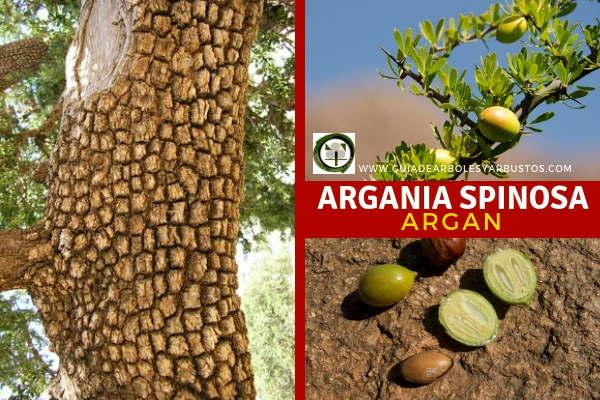 El Argan, Argania spinosa, especie que pertenece a la Familia Sapotáceas